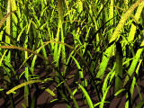Grass generator (POV-Ray)